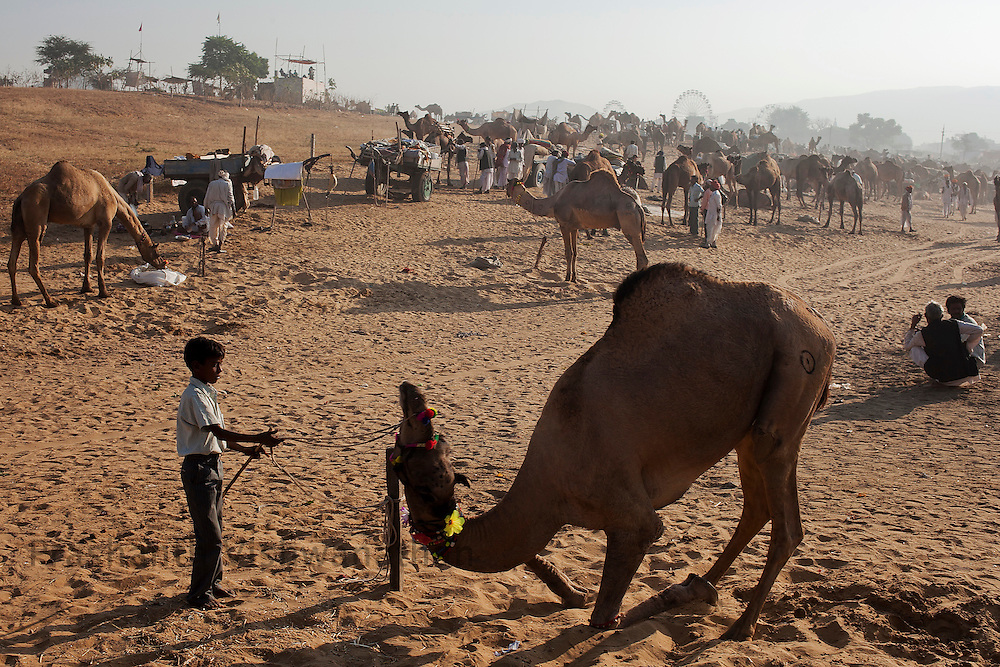 A camel obeys the command of his young master at the fair grounds in Pushkar, India, November 6, 2011.  Photographer: Prashanth Vishwanathan