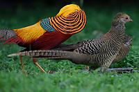 Golden pheasant, Chrysolophus pictus, displaying to female pheasants at Yangxian Nature Reserve, Shaanxi, China