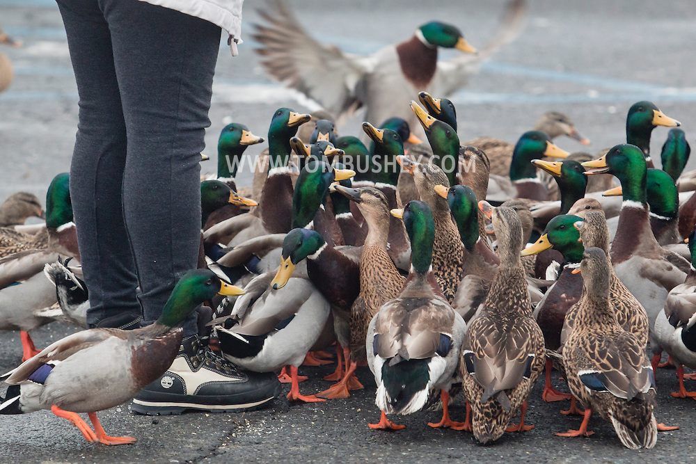 Newburgh, New York - Ducks crowd around a woman feeding them bread on the waterfront by the Hudson River on Feb. 7, 2015.