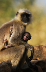 Gray Langur (Semnopithecus dussumieri) mother and cub, Bandhavgarh, India