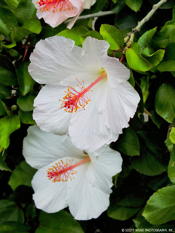 Two native white Hawaiian hibiscus flowers in bloom with bright red stamin, Keauhou, Big Island, Hawaii
