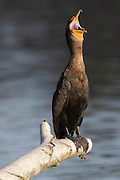 A double-crested cormorant (Phalacrocorax auritus) opens its mouth wide as it rests on a log above Lake Washington in Seattle. This part of Lake Washington, located in the Washington Park Arboretum, is a freshwater lake. The double-crested cormorant is one of only two types of cormorants regularly found in fresh water.
