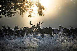 © Licensed to London News Pictures. 28/10/2019. London, UK. Deer stand in a frost and mist covered landscape on a bright winter morning in Richmond Park, London. The UK is due to see brighter weather over the next few days, following days of heavy rain which caused flooding in parts. Photo credit: Ben Cawthra/LNP