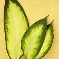 Three oval leaves cream with dark green borders of Dumb cane or Dieffenbachia lying on antique paper