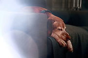 SHOT 2/28/16 5:04:32 PM - Tanner, an 11 year-old male Vizsla, sleeps on his chair in his home in Denver, Co.  (Photo by Marc Piscotty / © 2016)
