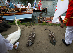 © Licensed to London News Pictures. 20/07/2015. A swan and two cygnets sit on the riverbank, tied up, waiting to be weighed. Swan Upping takes place on the River Thames near Windsor, Berkshire, UK. The annual event dates from medieval times, when The Crown claimed ownership of all mute swans which were considered an important food source for banquets and feasts. Today, the cygnets are weighed and measured to obtain estimates of growth rates and the birds are examined for any sign of injury, commonly caused by fishing hook and line. The cygnets are ringed with individual identification numbers by The Queen's Swan Warden, whose role is scientific and non-ceremonial. The Queen's Swan Marker produces an annual report after Swan Upping detailing the number of swans, broods and cygnets counted during the week. Photo credit: Ben Cawthra/LNP