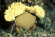 sponge crab, Dromidiopsis edwardsi, holding yellow sponge on back for camouflage, Garove Island, Witu Islands, Papua New Guinea ( Bismarck Sea / Western Pacific Ocean )