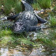 Crocodile resting in the shade .Mayakoba. Riviera Maya. Quintana Roo, Mexico.