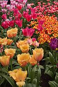 Fringed Tulip, Tulipa fringed 'LAMBADA', at Keukenhof Gardens.