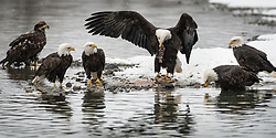 A group of bald eagles (Haliaeetus leucocephalus) feed on a salmon carcass on the banks of the Chilkat River in the Alaska Chilkat Bald Eagle Preserve. During late fall, bald eagles congregate along the Chilkat River to feed on salmon. This gathering of bald eagles in the Alaska Chilkat Bald Eagle Preserve is believed to be one of the largest gatherings of bald eagles in the world.