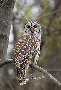 A barred owl perches on a branch in daylight.