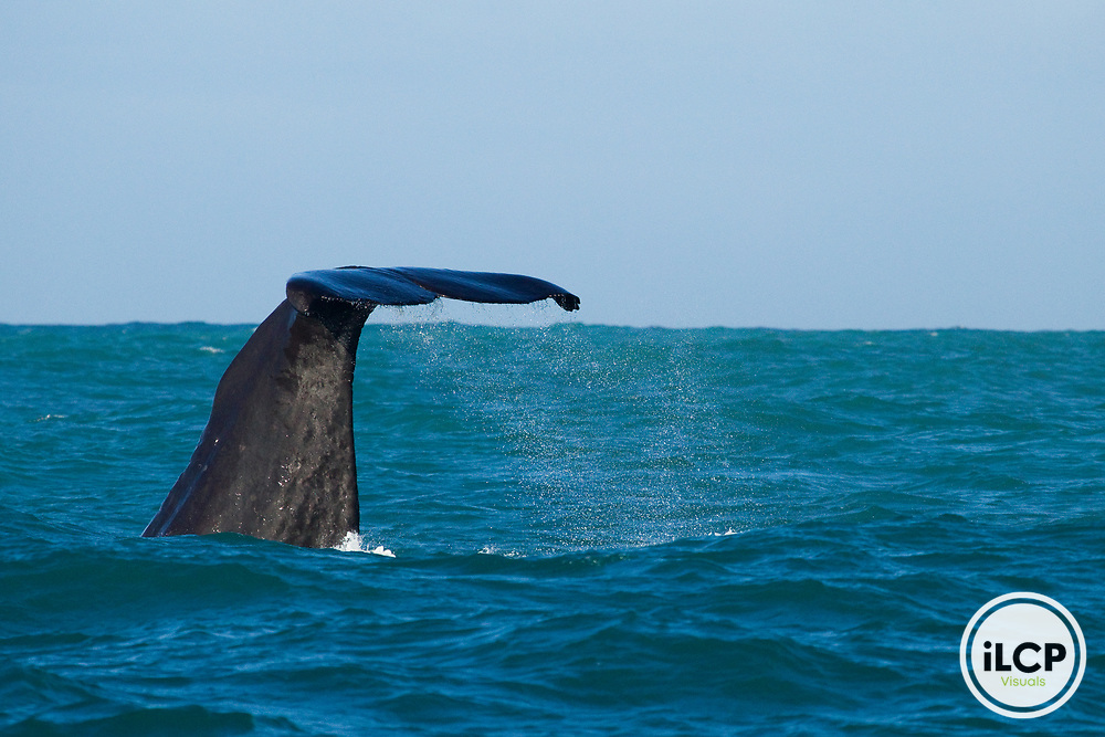 Sperm Whale (Physeter macrocephalus) diving, Kaikoura, South Island, New Zealand