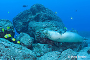 male Hawaiian monk seal, Monachus schauinslandi ( critically endangered endemic species ), with endemic milletseed butterflyfish, Chaetodon miliaris, and pyramid butterflyfish, Hemitaurichthys polylepis, Lehua Rock, near Niihau, off Kauai, Hawaii ( Pacific Ocean )