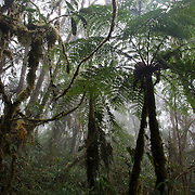 Tree ferns in cloud forest. Wayqecha Biological Reserve on the Eastern slopes of the Peruvian Andes. Cloud forest at 2950 meters elevation. The reserve is managed by the Amazon Conservation Association and the Asociación para la Conservación de la Cuenca Amazónica.