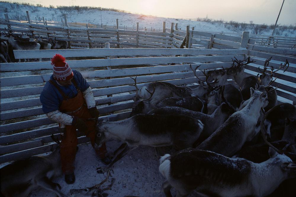 Europe, Norway, Sami herders slaughter reindeer during early winter harvest near arctic town of Kirkennes