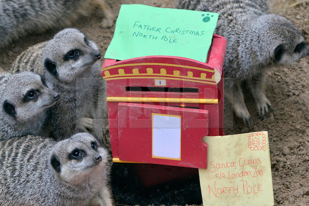 © Licensed to London News Pictures. 19/12/2012. London, UK ZSL London Zoo's merry mob of meerkats posted their letters to Santa today (Wednesday) with a request for tasty mealworms at the top of the list. Given the miniature postbox and insect-stuffed letters as part of their daily enrichment, the meerkats delved straight into the toy mailbox and foraged through the envelopes which were full of their favourite treats. Keeper Tegan McPhail said: ?There are four youngsters in this group who all clambered around the miniature post box to get to their snacks -it would seem that they're just as excited for Christmas as we are. ?They've all been good this year, so I'm sure they'll get what they asked for!?.  Photo credit : ZSL/LNP