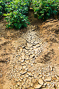 Dried earth and potato crops, Holkham, Norfolk, United Kingdom