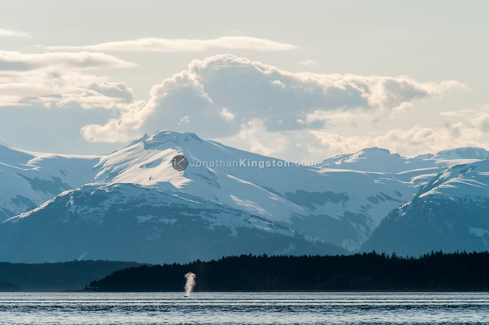 A humpback whale exhales on the surface of the ocean near Juneau, AK.