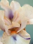 Iris 'Viper' - intermediate bearded iris