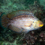 This is a mature male Pteragogus aurigarius wrasse, found in the Northwest Pacific around Japan and Taiwan. <br />Males compete with one another to establish territorial boundaries. This individual has just engaged in a brief battle with another male. He is departing the area, suggesting that he was no match for the rival male. These fish are normally darker in coloration.  This light hue might possibly be a sign of submission. There is no common name in English for this fish. It is known as uhaguro-bera in Japanese.