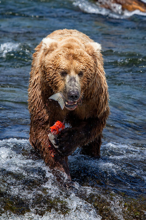 Salmon Dinner - Brown Bear - Katmai National Park, Alaska: Brooks Falls is one of the best places in the world to watch brown bears because it is one of the first streams in the region where bright, energetic, and pre-spawned salmon are available to bears. In July, most salmon are moving through large rivers and lakes where bears cannot successfully fish. Early in the salmon run, Brooks Falls creates a temporary barrier to migrating salmon. This results in a particularly successful fishing spot for bears. Once salmon stop migrating in large numbers, Brooks Falls is no longer a good place to fish and bears quickly abandon that spot for better fishing elsewhere. Edition of 100 EXP0612