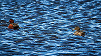 Pair of Cinnamon Teal (?) in the wetlands of the Arapaho National Wildlife Refuge. Image taken with a Nikon D300 camera and 80-400 mm VR lens (ISO 200, 400 mm, f/8, 1/400 sec).