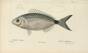 Oblata from Histoire naturelle des poissons (Natural History of Fish) is a 22-volume treatment of ichthyology published in 1828-1849 by the French savant Georges Cuvier (1769-1832) and his student and successor Achille Valenciennes (1794-1865).