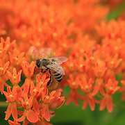 """Butterfly Weed Heaven""<br />