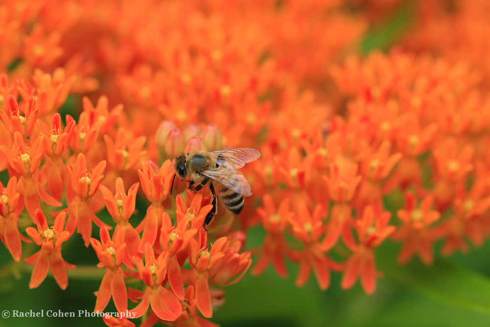 &quot;Butterfly Weed Heaven&quot;<br /> <br /> Beautiful orange Butterfly Weed with a bee!