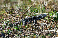 Black and White Tegu (Tupinambus merianae),  The Pantanal, Mato Grosso, Brazil