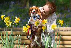 © Licensed to London News Pictures. 21/04/2018. Vigo, UK. Antonella Stacchiotti from Gravesend with one year old Cockapoo Pip enjoying daffodils and bluebells in the woods. The bluebells are now in full bloom at Trosley Country Park Photo in the village of Vigo near to Gravesend in Kent. credit : Rob Powell/LNP