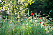 Poppies on top of th e mound at the No Man's land: ABF The Soldier's Charity garden. The Chelsea Flower Show 2014. The Royal Hospital, Chelsea, London, UK.  19 May 2014.  Guy Bell, 07771 786236, guy@gbphotos.com