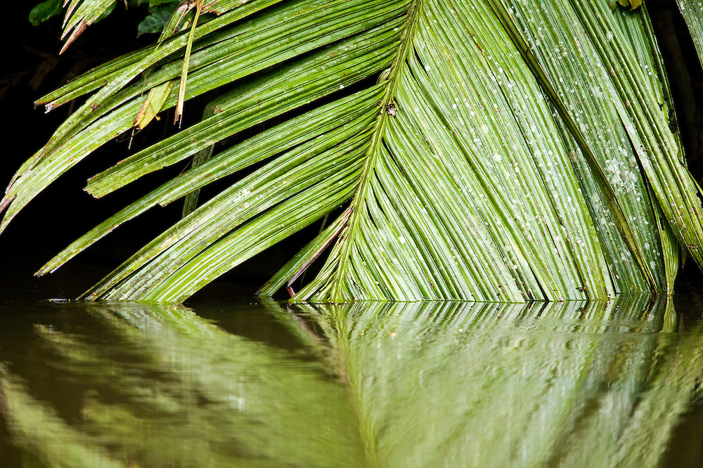 A palm frond dips into the placid waters in Tortuguero National Park.  Located on the Caribbean coast of Costa Rica, Tortuguero is well known for the nesting turtles on its beaches as well as its diverse wildlife along its rivers banks.