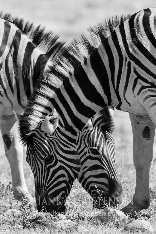 Two plains zebra graze side by side, Etosha National Park, Namibia.
