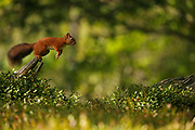 #1 of sequence of Red Squirrel (Sciurus vulgaris) leaping between tree stumps, in the Cairngorms National Park, Scotland.
