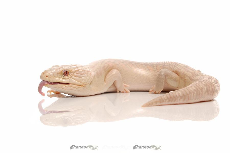 Albino Eastern Blue Tongue Skink (Tiliqua scincoides scincoides) on white