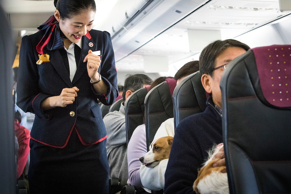 """CHIBA, JAPAN - JANUARY 27 : A flight attendant greets the dog during a flight in Chiba, Japan on January 27, 2017. Japan Airlines """"wan wan jet tour"""" allows owners and their dogs to travel together on a charter flight for a special three-day domestic tour to Kagoshima Prefecture, southwestern Japan. As part of the package tour, the owners and their dogs will also get to stay together in a hotel and go sightseeing in rented cars.  (Photo by Richard Atrero de Guzman/ANADOLU Agency)"""