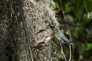 Northern Parula Warbler (Parula americana)<br /> Little St Simon's Island, Barrier Islands, Georgia<br /> USA<br /> HABITAT & RANGE: SE Canada, E USA, to Nicaragua