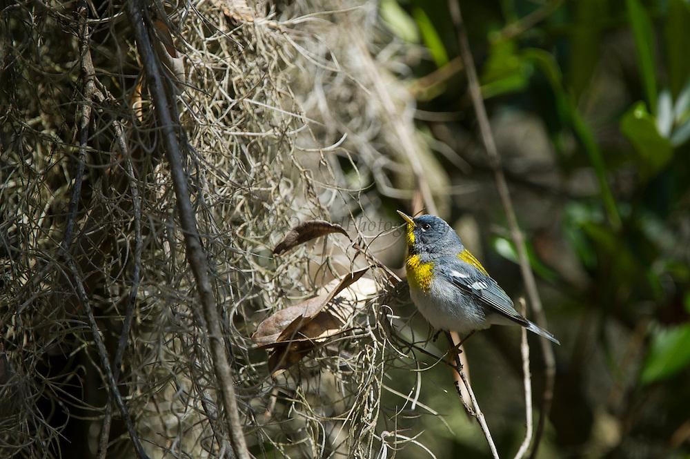 Northern Parula Warbler (Parula americana)<br /> Little St Simon's Island, Barrier Islands, Georgia<br /> USA<br /> HABITAT &amp; RANGE: SE Canada, E USA, to Nicaragua