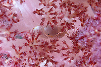 Many different crustaceans hide in the branches of soft coral.  They may help their host by removing debris and parasites on the surface of the coral.