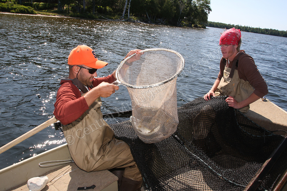 Beaver Island fish research. Gather data about populations of fish in the inland lakes. With red bandana, Eric Calabro, and in orange hat, Tom Clement. Brent Murry is faculty member in tan hat. White net is gill net and others are trap nets.<br /> Fish found...small mouth bass, blue gills, pumpkin seed, northern pike, walleye, yellow perch, rock bass, brown bull head. They were recording number of fish, size and taking scales.