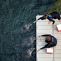 """USA, Hawaii, Honolulu. A balcony view of """"Dolphin Quest"""" trainers feeding three dolphins at the Kahala Hotel & Resort."""