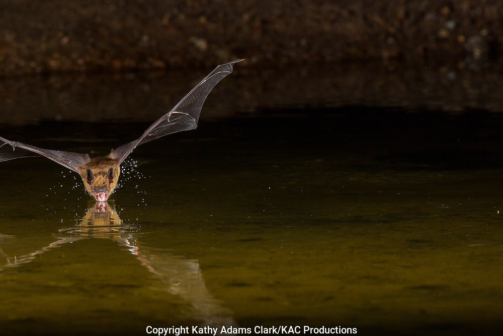 Big Brown bat, Eptesicus fuscus, flying over pond at night, southern, Arizona.