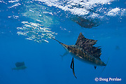 Atlantic sailfish, Istiophorus albicans, attacking bait ball of Spanish sardines (aka gilt sardine, pilchard, or round sardinella ), Sardinella aurita, off Yucatan Peninsula, Mexico ( Caribbean Sea ) #2 in sequence of 3 images