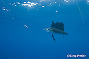 Atlantic sailfish, Istiophorus albicans ( considered by some to be a single species worldwide, Istiophorus platypterus ), chases a teaser bait, off Yucatan Peninsula near Contoy Island and Isla Mujeres, Mexico ( Caribbean Sea )