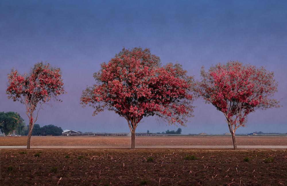 Tres Ruber Arbores