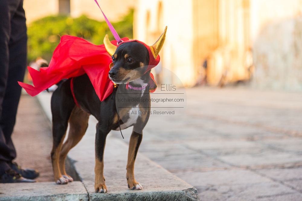 A Mexican Chihuahua dressed in a devil costume during the dog costume parade part of Day of the Dead Festival known in spanish as Día de Muertos on October 25, 2014 in Oaxaca, Mexico.