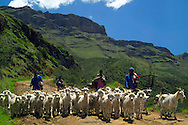 SANI PASS, SOUTH AFRICA, DECEMBER 2004. The Sani Pass on the border with the kingdom of Lesotho has the highest pub of Africa and is a good place to go mountain biking. On the road we meet goat herds and their goats. South Africa  offers some of the world's most beautiful views and many cultures. Photo by Frits Meyst/Adventure4ever.com