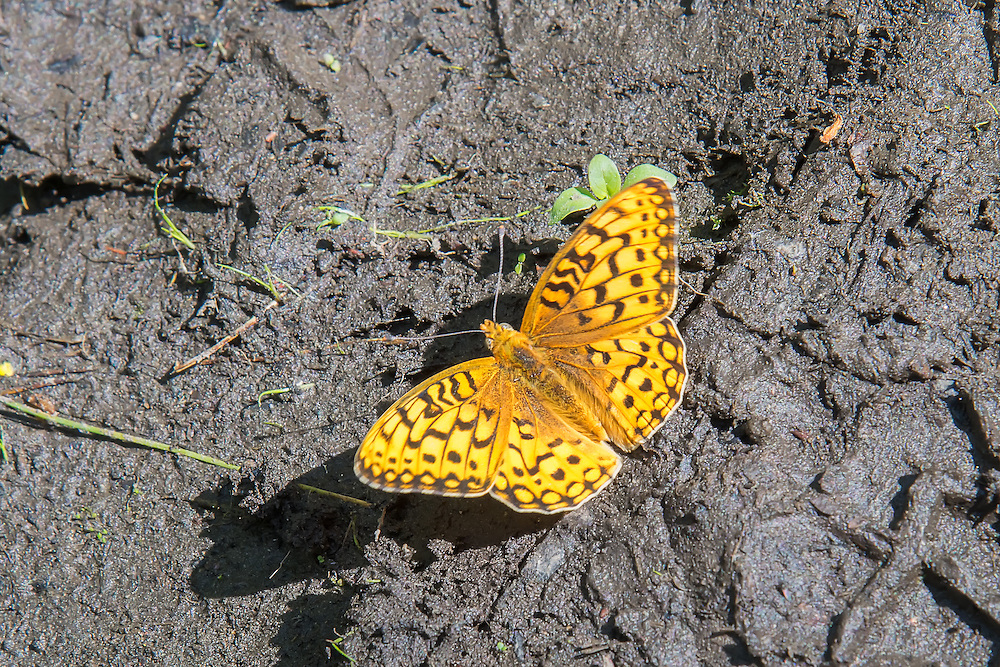 A hydaspe fritillary pauses briefly in a drying puddle of mud to drink after a sudden summer storm below Mount Rainier in Kittitas County, Washington.