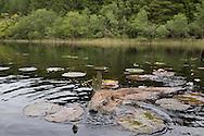 European beaver (Castor fiber) swimming amongst lilies, Knapdale Forest, Argyll, Scotland.